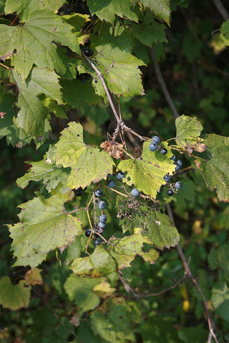 "Photograph of Michigan Wild Grapes (Vitis labrusca)"", by Cody Hough, Wikimedia Commons. Vitis labrusca is the scientific name for the Fox Grape."