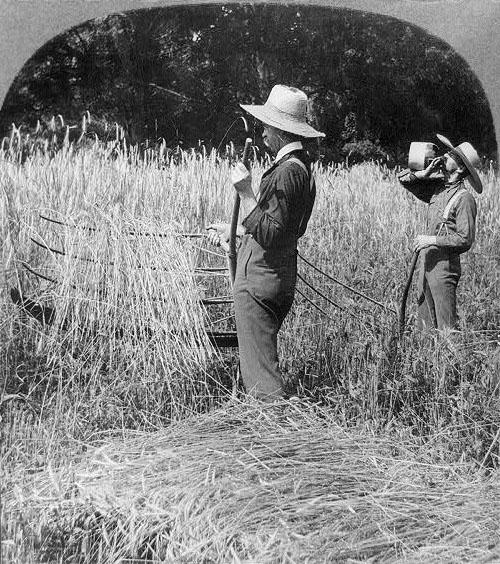 """<img typeof=""""foaf:Image"""" src=""""http://statelibrarync.org/learnnc/sites/default/files/images/3a10809r.jpg"""" width=""""500"""" height=""""564"""" alt=""""Cutting wheat with a cradle"""" title=""""Cutting wheat with a cradle"""" />"""