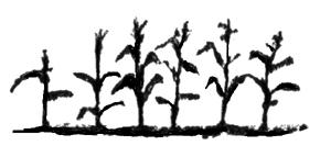 "<img typeof=""foaf:Image"" src=""http://statelibrarync.org/learnnc/sites/default/files/images/Cornplant.jpg"" width=""290"" height=""143"" alt=""Maize plants"" title=""Maize plants"" />"
