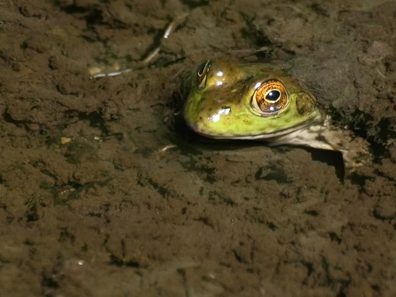 "<img typeof=""foaf:Image"" src=""http://statelibrarync.org/learnnc/sites/default/files/images/americanbullfrog.jpg"" width=""1270"" height=""951"" alt=""American bullfrog"" title=""American bullfrog"" />"