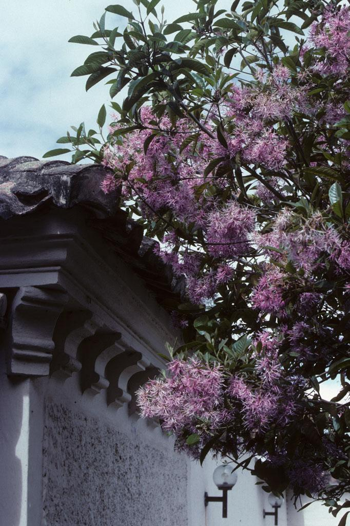 """<img typeof=""""foaf:Image"""" src=""""http://statelibrarync.org/learnnc/sites/default/files/images/ecuador_063.jpg"""" width=""""682"""" height=""""1024"""" alt=""""Purple flowers in Riobamba, Ecuador"""" title=""""Purple flowers in Riobamba, Ecuador"""" />"""