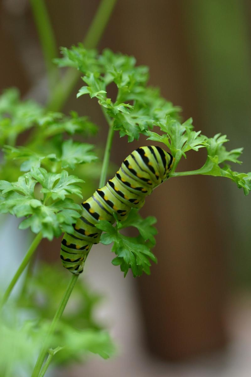 """<img typeof=""""foaf:Image"""" src=""""http://statelibrarync.org/learnnc/sites/default/files/images/esb11.jpg"""" width=""""2048"""" height=""""3072"""" alt=""""Eastern black swallowtail butterfly: Third larval instar"""" title=""""Eastern black swallowtail butterfly: Third larval instar"""" />"""