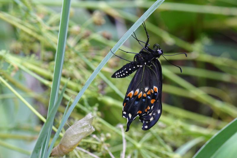 """<img typeof=""""foaf:Image"""" src=""""http://statelibrarync.org/learnnc/sites/default/files/images/esb20.jpg"""" width=""""3072"""" height=""""2048"""" alt=""""Eastern black swallowtail butterfly"""" title=""""Eastern black swallowtail butterfly"""" />"""