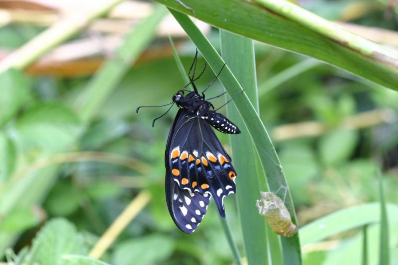 "<img typeof=""foaf:Image"" src=""http://statelibrarync.org/learnnc/sites/default/files/images/esb21.jpg"" width=""3072"" height=""2048"" alt=""Eastern black swallowtail butterfly "" title=""Eastern black swallowtail butterfly "" />"