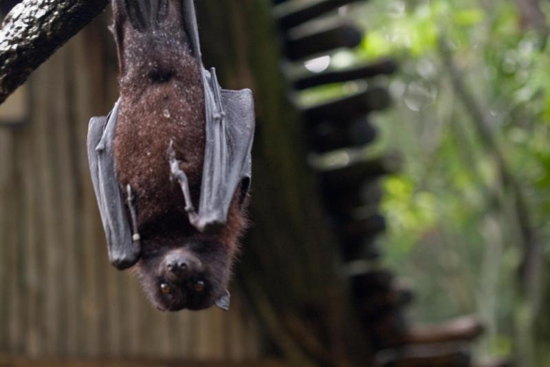 "<img typeof=""foaf:Image"" src=""http://statelibrarync.org/learnnc/sites/default/files/images/flyingfoxbat.jpg"" width=""1024"" height=""683"" alt=""Flying fox bat"" title=""Flying fox bat"" />"