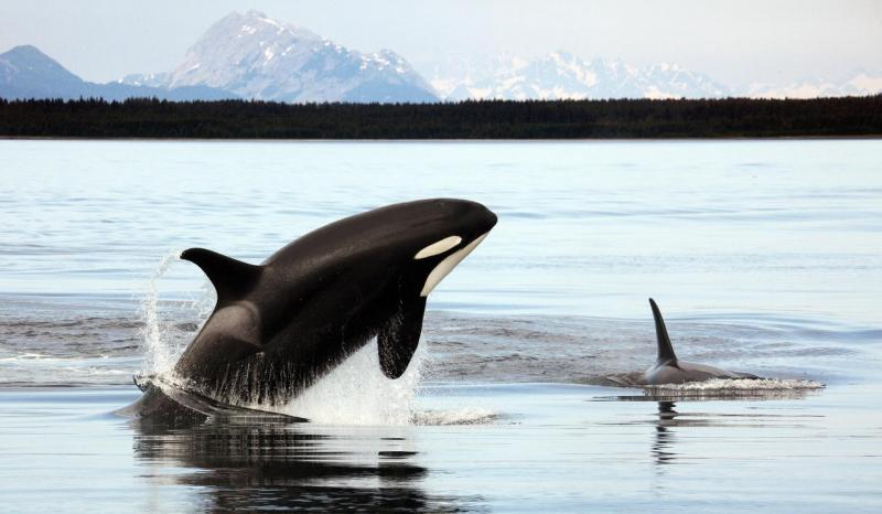 """<img typeof=""""foaf:Image"""" src=""""http://statelibrarync.org/learnnc/sites/default/files/images/killerwhale.jpg"""" width=""""1280"""" height=""""745"""" alt=""""Killer whale"""" title=""""Killer whale"""" />"""