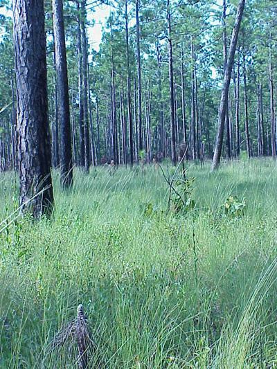 "<img typeof=""foaf:Image"" src=""http://statelibrarync.org/learnnc/sites/default/files/images/longleaf_pine_savanna.jpg"" width=""400"" height=""533"" alt=""Longleaf pine savanna"" title=""Longleaf pine savanna"" />"