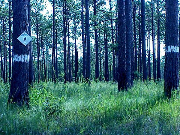 "<img typeof=""foaf:Image"" src=""http://statelibrarync.org/learnnc/sites/default/files/images/mature_pines.jpg"" width=""600"" height=""450"" alt=""Mature pine savannah"" title=""Mature pine savannah"" />"
