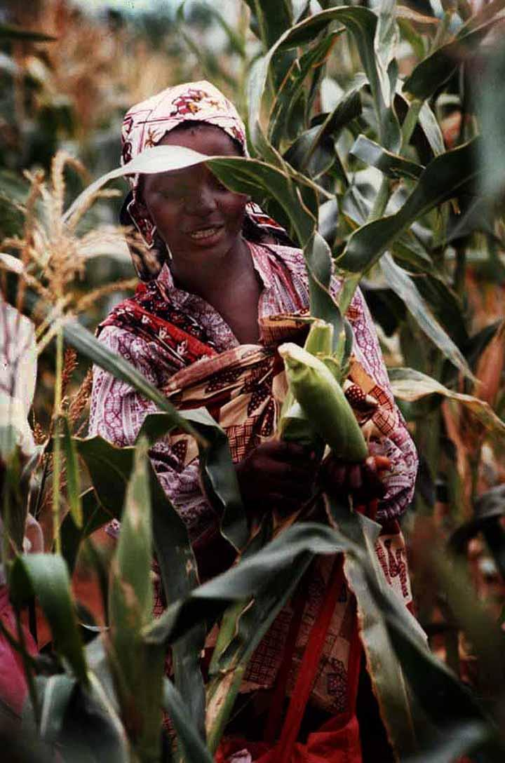 """<img typeof=""""foaf:Image"""" src=""""http://statelibrarync.org/learnnc/sites/default/files/images/mozambique_maize.jpg"""" width=""""720"""" height=""""1088"""" alt=""""Maize in Mozambique"""" title=""""Maize in Mozambique"""" />"""