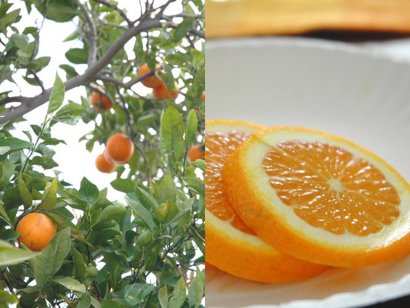 "<img typeof=""foaf:Image"" src=""http://statelibrarync.org/learnnc/sites/default/files/images/oranges.jpg"" width=""1024"" height=""768"" alt=""Orange tree and orange slices"" title=""Orange tree and orange slices"" />"