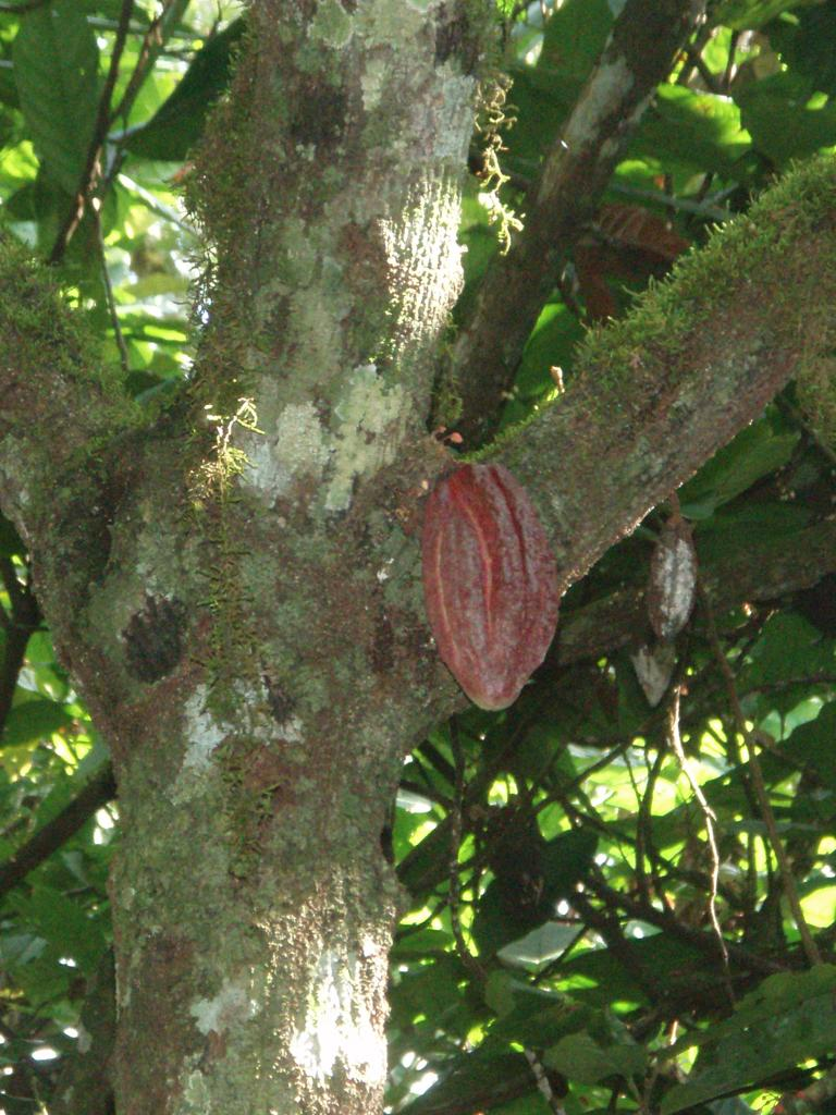 """<img typeof=""""foaf:Image"""" src=""""http://statelibrarync.org/learnnc/sites/default/files/images/p7080587rr.jpg"""" width=""""768"""" height=""""1024"""" alt=""""Cacao pod in tree"""" title=""""Cacao pod in tree"""" />"""