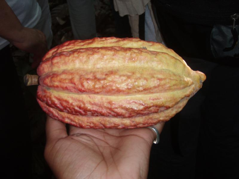 "<img typeof=""foaf:Image"" src=""http://statelibrarync.org/learnnc/sites/default/files/images/p7080598r.jpg"" width=""1024"" height=""768"" alt=""Cacao pod close-up"" title=""Cacao pod close-up"" />"