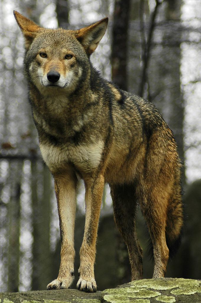 "<img typeof=""foaf:Image"" src=""http://statelibrarync.org/learnnc/sites/default/files/images/red_wolf.jpg"" width=""681"" height=""1024"" alt=""Red wolf"" title=""Red wolf"" />"