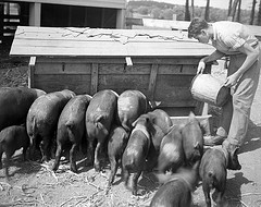 Methodist Orphanage near Raleigh, NC, Farm Scene - Boys Feeding Pigs, August 1944. From the Barden Photo Collection, North Carolina State Archives, call #:  N.53.16.5515, Raleigh, NC.