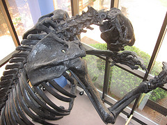 Giant Sloth at Cape Fear Museum. Image courtesy of Flickr user Laurie O'Neil.
