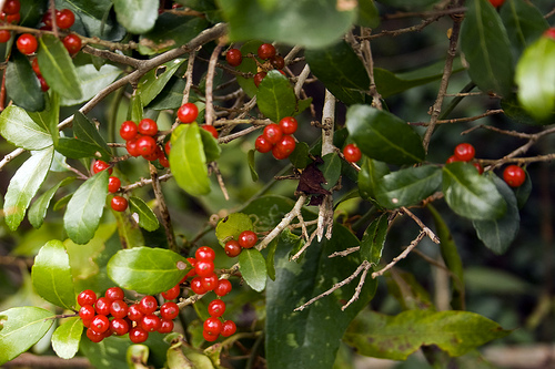 Ilex vomitoria, the Yaupon Holly, January 9, 2010, Kure Beach, North Carolina. Image from Flickr user Seuss.