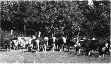 Beef Cattle, Temple Farm, 1932. Image available from North Carolina State University Libraries.