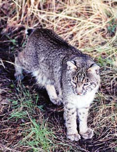 Bobcat From Nc Wins Ncpedia