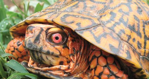 Eastern box turtle, image from NC Wildlife Resources Commission.