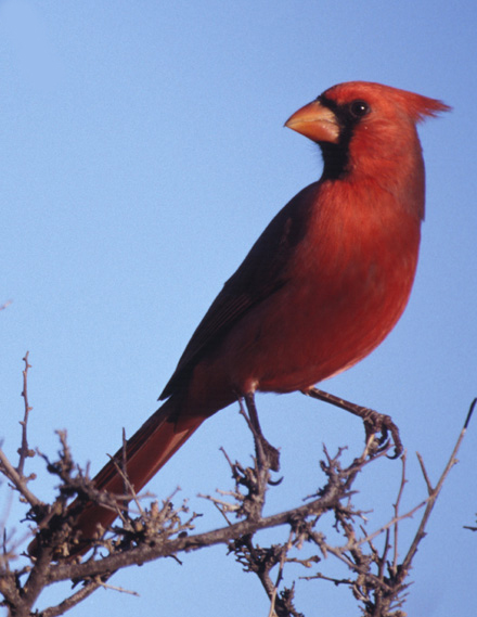 An adult male cardinal