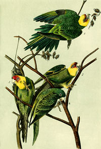Carolina Parakeet. Image courtesy of the Cornell Laboratory of Ornithology.