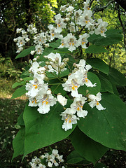Southern Catalpa Tree, Catalpa bignonioides. Image courtesy of Flickr user Zen Sutherland.