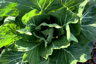 Collards. Image courtesy of Flickr user feeb.