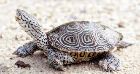 Diamondback Terrapin (from NC WINS) | NCpedia