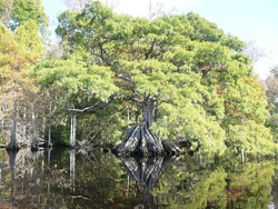 Cypress tree, Great Dismal Swamp