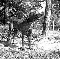 One of the Plott's Plott Hounds, 1952. From Conservation and Development Department, Travel and Tourism Division Photo Files, North Carolina State Archives, call #:  C&D 8623-C.