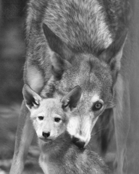 An endangered male red wolf and pup in the Alligator River National Wildlife Refuge in Dare and Hyde Counties. Image copyright Greg Koch, 2003.