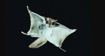 Flyingsquirrel
