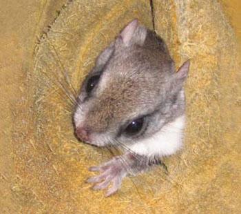 N.c. Squirrel Season The southern flying squirrel