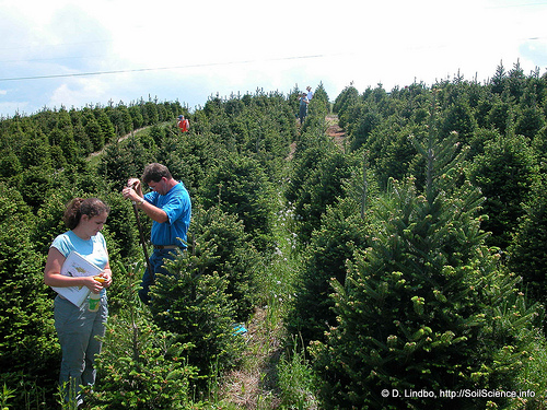 Fraser fir tree farm