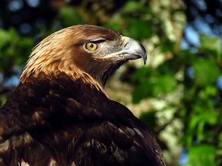 Golden Eagle, Grandfather Mountain, 2012. Image courtesy of flickr user BlueRidgeKitties.