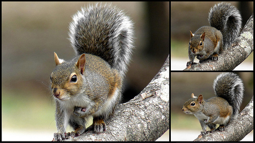 Gray squirrel pictures