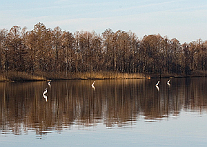 Egrets on Lake Mattamuskeet