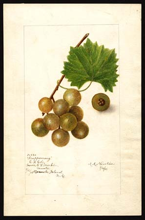 Illustration of scuppernong grape specimen from Roanoke Island, N.C., by Amanda Almira Newton, 1905. U.S. Department of Agriculture Pomological Watercolor Collection. Rare and Special Collections, National Agricultural Library, Beltsville, M.D.