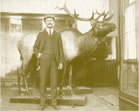 H. H. Brimley with a mounted elk and a mounted buffalo at what is now the North Carolina Museum of Natural Sciences, ca. 1905. Image courtesy of the Brimley Photograph Collection, State Archives, North Carolina Office of Archives and History.