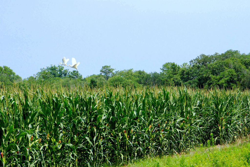 Two cattle egrets fly over the cornfield