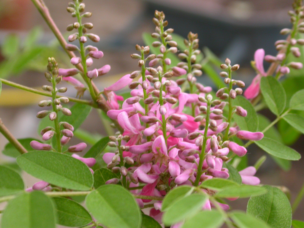 Flower of the indigo plant, which is pink.