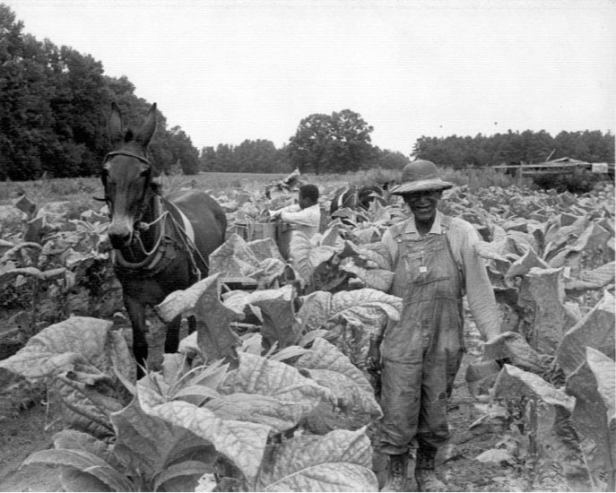 tobacco harvesting