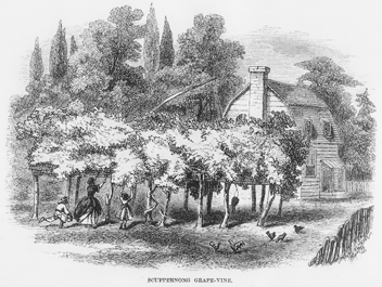Scuppernong grape arbor beside a dwelling in northeastern North Carolina as depicted in an 1859 engraving in Harper's New Monthly Magazine. North Carolina Collection, University of North Carolina at Chapel Hill Library.