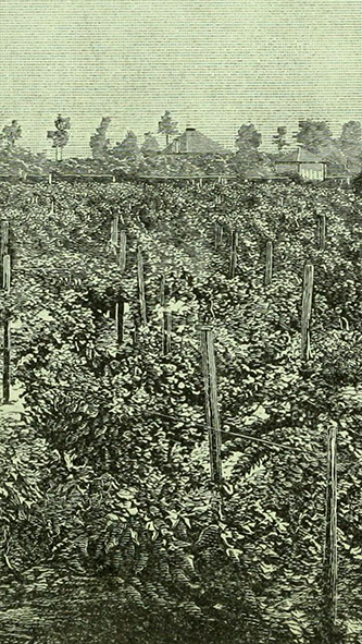 Engraving of the Tokay Vinyards, 1880. Image from Archive.org.