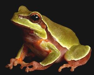 The Pine Barren Treefrog. Image courtesy of the North Carolina Herpetological Society.