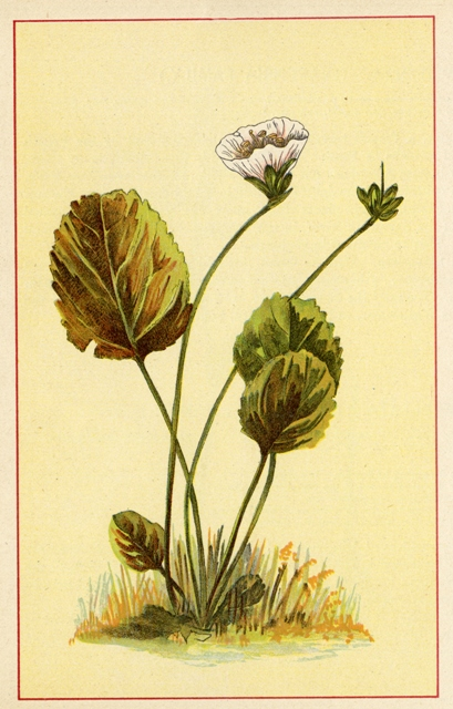 Shortia galacifolica. Image courtesy of Harvard University Herbaria.