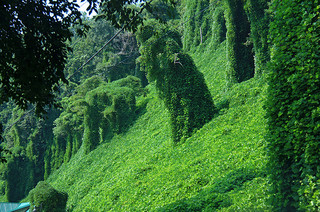 Kudzu covering the land in Bryson City, North Carolina. Image courtesy of Flickr user Francisco Daum.