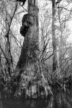 The Black River in Pender County, home to 1,700-year-old cypress trees identified as the oldest living trees east of the Rocky Mountains, is among the North Carolina habitats protected by the Nature Conservancy. This 1986 photograph shows one of the old-growth trees. Photograph by Frederick W. Annand.