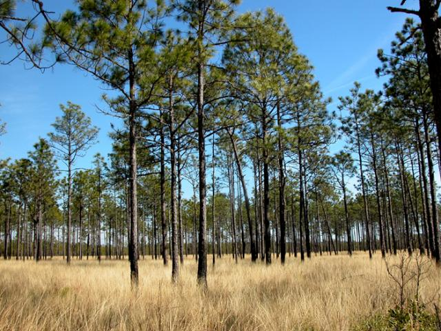 Longleaf Pine Savanna Natural Community, photo by Misty Buchanan, 2004
