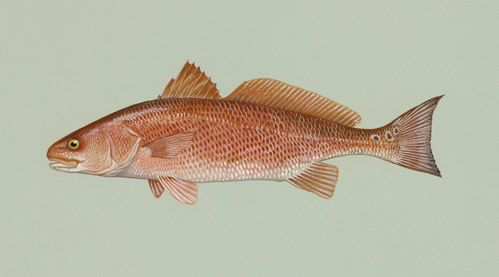 """Red Drum."" Image from U.S. Fish and Wildlife Service."